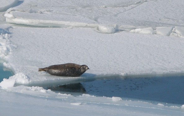 seal_on_ice_flow