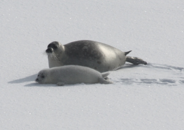 Caspian seal mother and pup