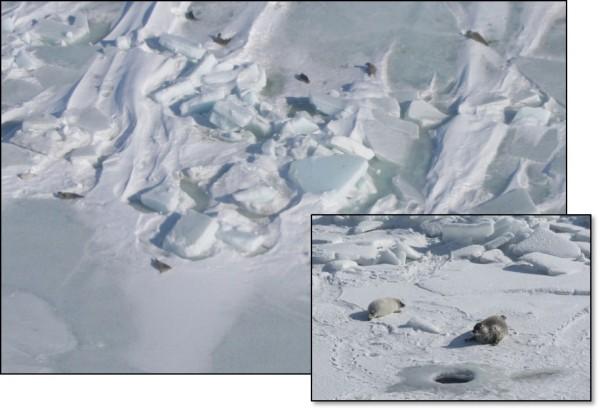 Breeding Caspian seals on the winter ice field