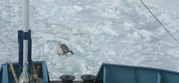 Caspian seal mother and pup in the path of an icebreaker