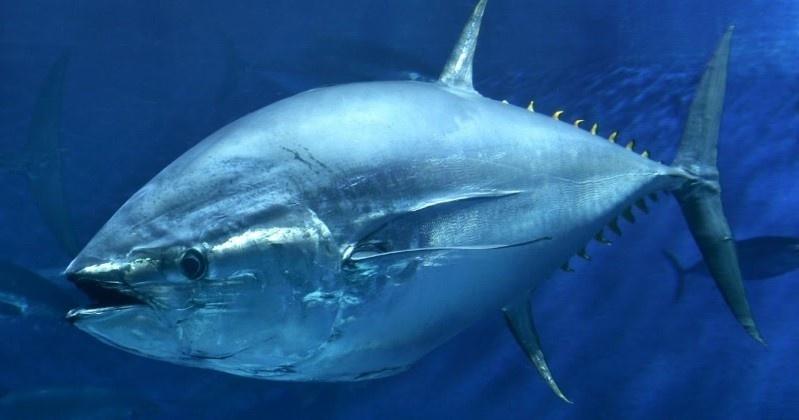Atlantic_bluefin
